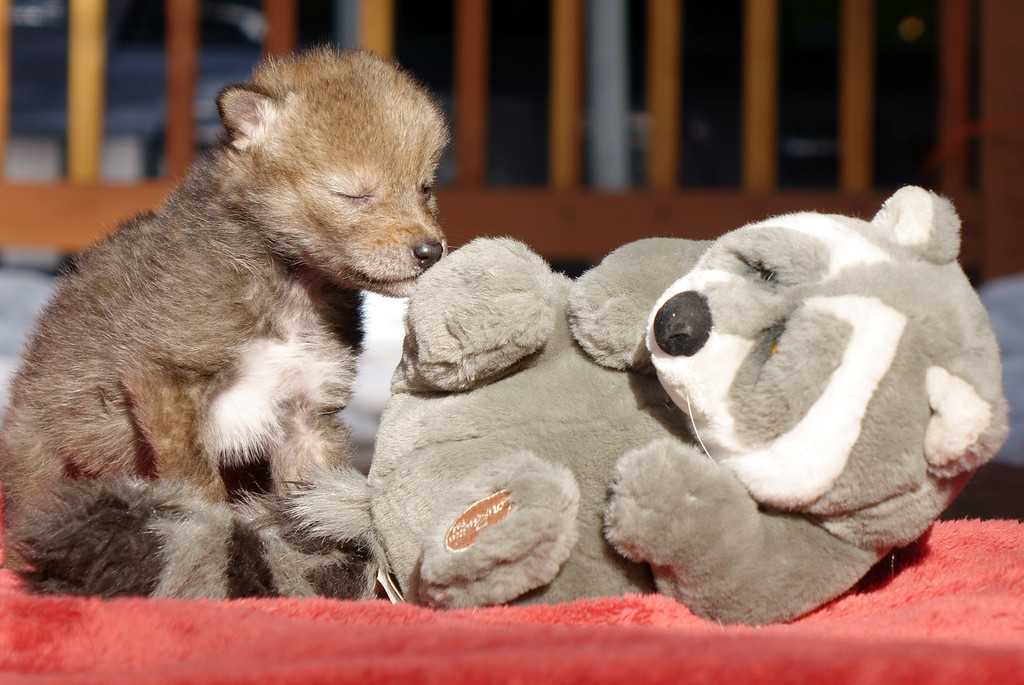 An orphaned coyote pup at Lake Tahoe Wildlife Care finds a playmate.